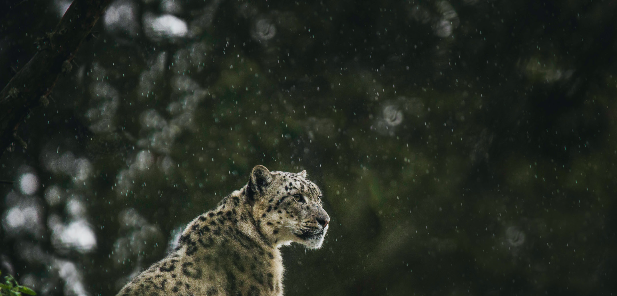 Preventing illegal trade in snow leopards